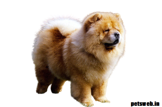 chow chow price in india