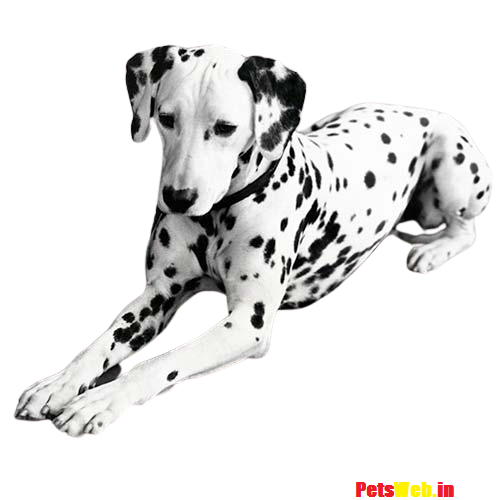 Dalmatian Price in India with Monthly Expenses