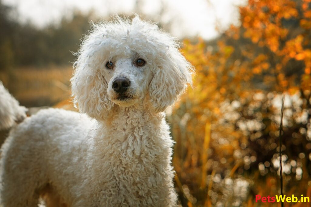 Toy poodle price in india