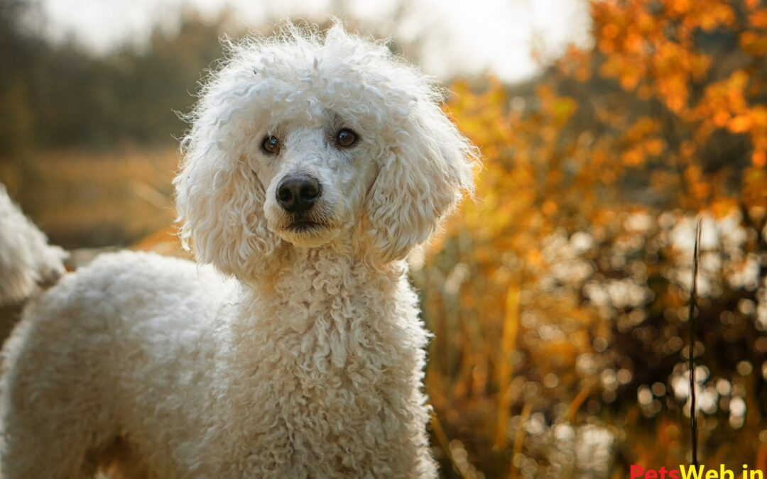 Toy Poodle Price in India with Monthly Expenses