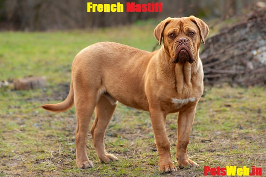 French mastiff price in India