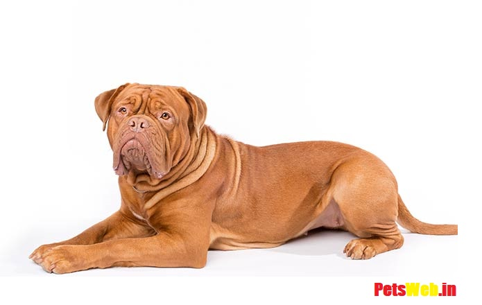 French Mastiff Price in India With Monthly Expenses