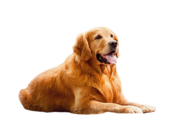 Golden Retriever Price in Delhi With Monthly Expenses