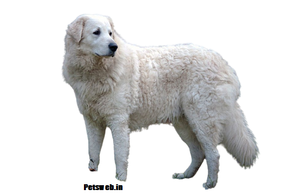 Kuvasz Price In India With Monthly Expenses