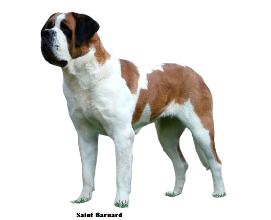 Saint Bernard Price in Delhi