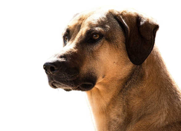 Kangal Dog Price in India and How Much They Cost?