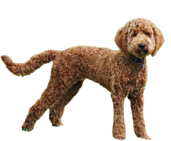 labradoodle price in india