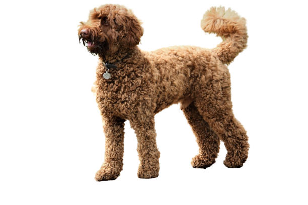 Labradoodle Price in India With Monthly Charges?