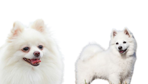 different between Pomeranian and Indian spitz