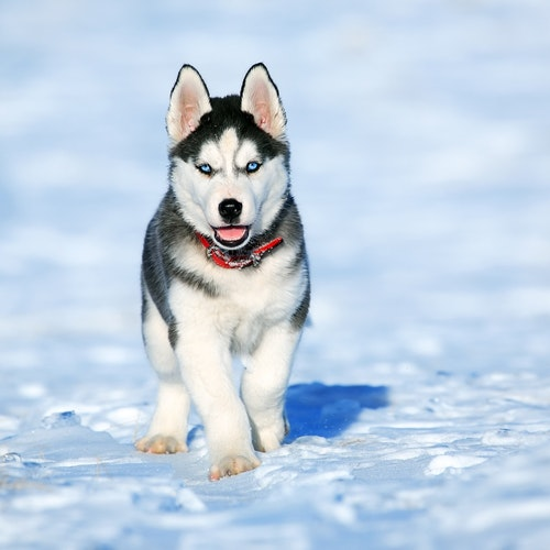 Siberian Husky Price in India with Monthly Expenses?