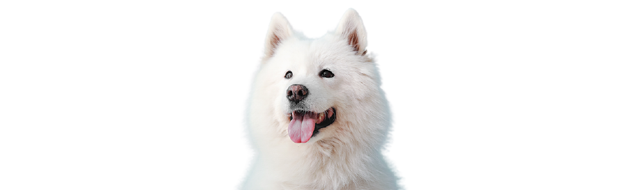 Samoyed Price in India with Monthly Expenses
